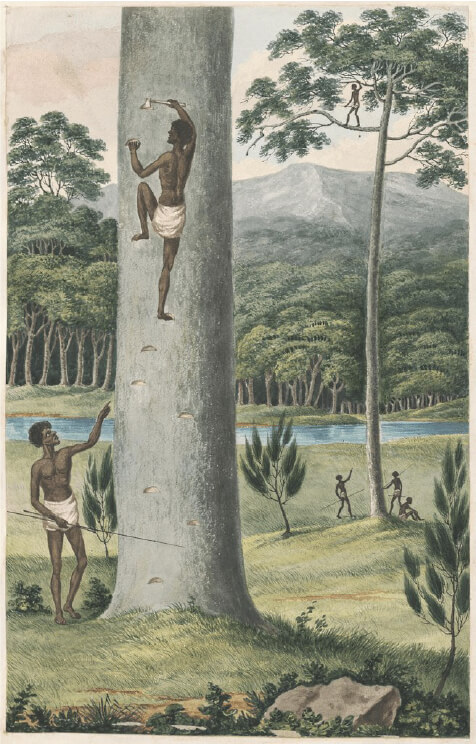 The use of a hatchet to create footsteps in Joseph Lycett's c.1817 Aborigine Climbing a Tree .